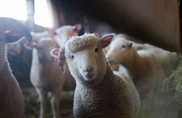 agriculture animals baby blur